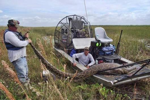Burmanpython eli tiikeripython kasvaa noin 4-metriseksi ja lähes 60-kiloiseksi, joten käärmeenpyytäjillä on kova työ saada jättiläiskäärme hallintaan – pythonin myrkyttömyydestä huolimatta. Kuva: South Florida Water Management District.