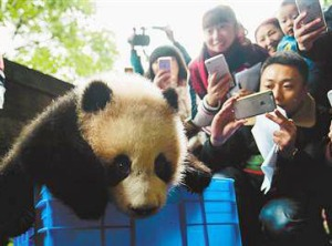 Kuten kaikki jättiläispandan pennut, Tintti sai valtavan media- ja yleisösuosion ensimmäisissä julkisissa esiintymisissään Chongqingin eläintarhassa.