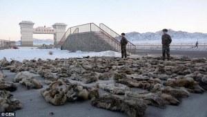 Kiinan ja Mongolian rajalla takavarikoitu 148 suden nahan erä on vain yksi osoitus harvinaisten eläinten loppumattomasta kysynnästä laittomilla markkinoilla.