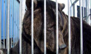 Saksan viimeinen kiertävissä sirkuksissa esiintynyt karhu pääsi viimein vapauteen. Kuva: express.co.uk.