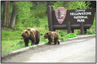 Harmaakarhu on meikäläistä ruskeakarhua suurempi ja voimakkaampi. Kuva: Yellowstonecountry.com