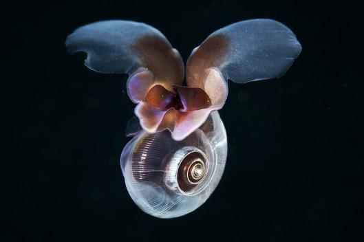 """Arktisten vesien """"meriperhonen"""" muistuttaa liikkumistekniikassaanenemmän hyönteisiä kuin lähisukulaisiaan, vedenalaisia kotiloita . Kuva: canadajournal.net."""