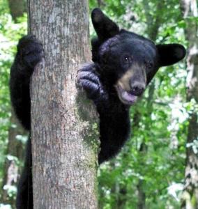 """Luonnon """"teddykarhuilla"""" menee tätä nykyä hyvin Yhdysvaltain etelävaltioissa. Kuva The Cooperative Conservation in Louisiana.org."""