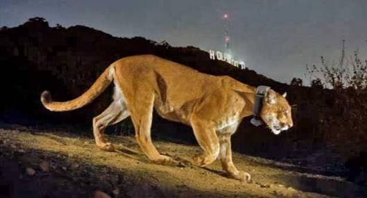 Hollywoodista tunnetun Los Angelesin Griffth Park -pistossa vakituisesti asuva puuma vieraili myös miljoonakaupungin eläintarhassa. Kuva: National Geographic.