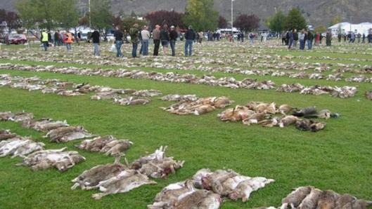 """Pitkäperjantain """"pääsiäispupujahti"""" on Uudessa-Seelannissa jo 25 kertaa järjestetty perinne, jossa on lahdattu kaikkiaan noin 300 000 haittaeläimeksi luokiteltavaa kania. Kuva: Disclose.tv."""