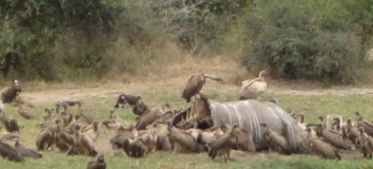 Raadonsyöjät – Krugerin kansallispuistossa etenkin leijonat ja savannikorppikotkat – ovat norsujen salametsästäjien sivullisia, tarkoituksettomia uhreja.