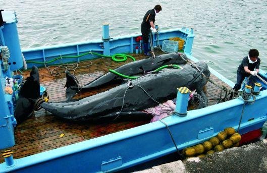Japani jatkaa valaanpyyntiään kansainvälisen oikeuden määräyksistä huolimatta. Kuva: Reuters.