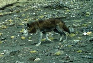 Himalajansusi poikkeaa muista susista niin ulkonäkönsä kuin perintötekijöidensä puolesta niin paljon, että lajia pidetään koko susilajin alkuperäisimpänä muotona. Kuva: ZooKeys 582, 2016.