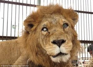Perulaisesta eläintarhasta takavarikoitu, toisesta silmästään sokeutunut leijoja valmiina paluuseen lajin kotimantereelle Afrikkaan. Kuva Animal Defence International.
