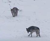 Kahden harvinaisen suurpedon rauhallinen kohtaaminen puolalaisessa kansallispuistssa. Kuva: Zenek Wojtas, kuva YouTube -videosta.