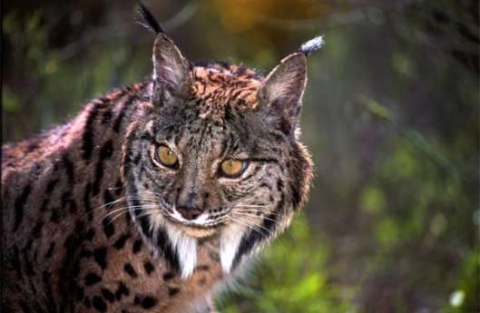 Iberianilves menestyy aikaisempaa laajemmalla alueella, mutta valitettavasti kissapedon tärkeimmän saaliseläimen kanin kannat ovat huolestuttavasti romahtaneet. Kuva: iberianature.com.