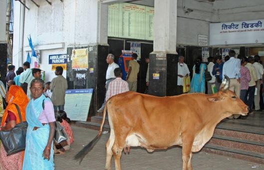 """""""Lehmä on osa ihmisen elämisen ketjua"""". Arkipäivää Mumbain (Bombay) Khar Road Station -rautatieasemalla. Kuva: Kai Aulio."""
