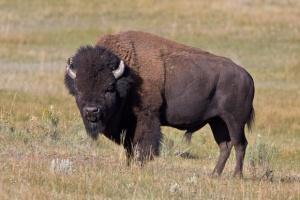 Preerian hallitsija biisoni on ehdolla kansalliseksi symboliksi. Kuva: coniferousforest.com.