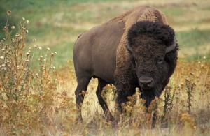 Puhveli-nimelläkin tunnettava biisoni on tärkeä osa Pohjois-Amerikan, ja etenkin mantereen alkuperäisten intiaanikansojen historiaa. Kuva en.wikipedia.org.