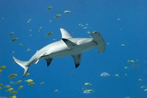 Vasarahai on yleisin laji maailman vahvimmalla haikalojen esiintymisalueella, Darwin- ja Wolf- saarten vesillä Galápagossaarilla. Kuva: Sharks – Adaptations, Wikispaces.com.