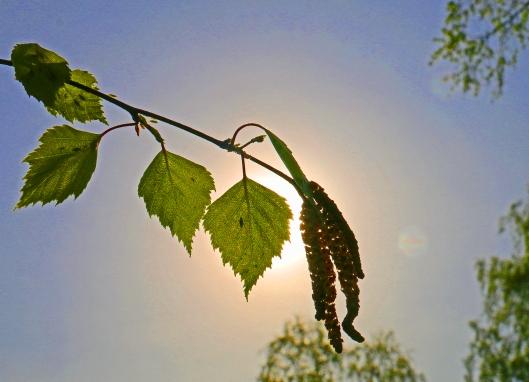 Auringon säteilyenergia on kasvien elinehto, mutta lyhytaaltoisen ultraviolettisäteilyn haitallinen vaikutus heikentää yhteyttämistä ja voi vaurioittaa solukkoja,. Onneksi ainakin osa kasveista pystyy aktiivisesti suojautumaan keskipäivän voimakkaimman säteilyaltistuksen aiheuttamalta stressiltä. Kuva: Kai Aulio.