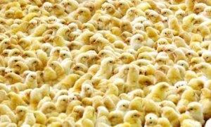 Teollisen mittakaavan tuotannossa aniharva kukko elää yhtä päivää vanhemmaksi. Kuva: 21.food.com.