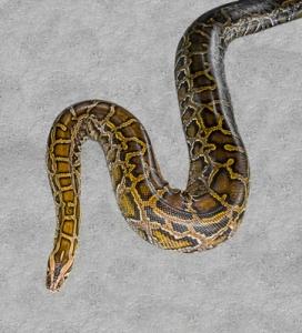 Pytonit ovat trooppisia ja subtrooppisia käärmeitä, jollaiseen ei pitäisi törmätä Britanniassa – tai missään muuallakaan Euroopassa. Kuva: iclipart.com.