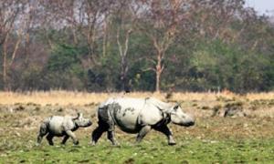 Länsi-Bengalin Gorumaran kansallispuistosa oli 2010-luvun alun laskennassa 40–50 sarvikuonoa. Kuva: The Times of India.