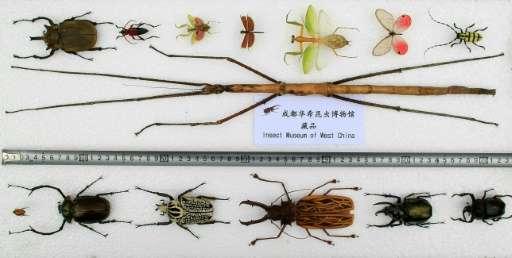 Sauvasirkka Phryganistria chinensis on todellinen jättiläinen mihin hyönteisiin verrattuna. Länsi-Kiinan Hyönteismuseo. Kuva: Xinhua.