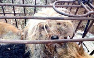 Monilla teurastusta ja syödyksi tulemista odottaneista koirista on kaulapanta, mikä osoittaa eläinten olevan varastettuja. Kuva: Human Society International, via express.co.uk.