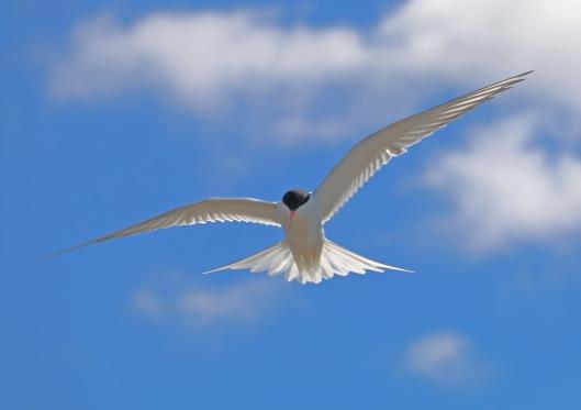 Lapintiira tunnetaan taitavana ja pitkiä muuttoja tekevänä lentäjänä, mutta satagrammaisen linnun suoritukset ovat jopa aikaisemin tiedettyä vakuuttavampiakin, osoittaa englantilaisen Newcastlen yliopiston seurantatutkimus. Kuva: Kai Aulio.