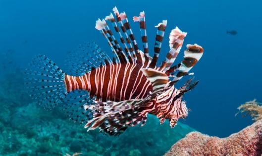 Siipisimppu on ahnas saalistaja, joka syö jopa 30 kertaa oman painonsa, ja kalan lisääntymispotentiaali on vertaansa vailla. Kuva: Naturedodumentaries.org.