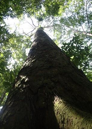 Jättikoiset Shorea-suvun puut ovat taloudellisesti arvokkaimpia tropiikin puita. Kuva: Stephanie Law, via New Scientist.
