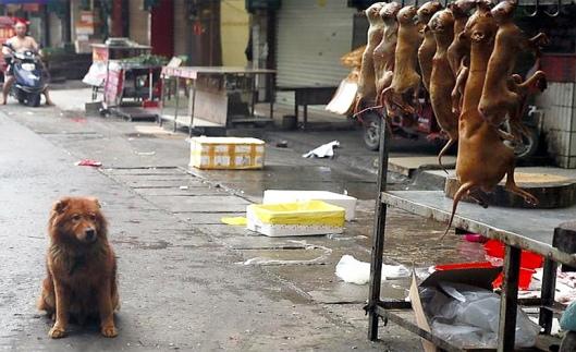 Kiinalainen koiriensyöntifestivaali herättää vastustusta, mutta joka vuosi noin 10 000 koiraa syödään keskikesän juhlinnan aikana. Kuva: Stopyulinforever.org.