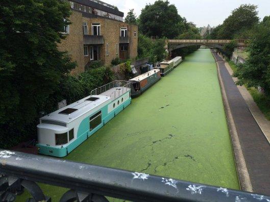 """Lontoon Regent's Canal -kanavan limaskakasvusto oli niin tiheä, että koirat hyppäsivät veteen luullen alustaa nurmikoksi. Hellesään """"villiinnyttämät"""" limaskat eivät ole ihmisille tai eläimille vaarallisia. Kuva: Tom Edwards, Twitter."""