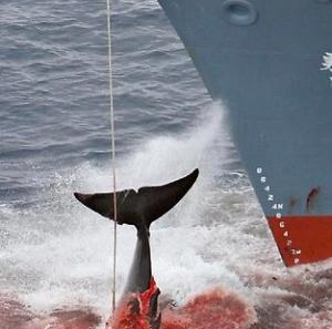 """Japanin valaanpyynti on kansainvälisten sopimusten vastaista, tapahtuipa """"tieteellisen tutkimuksen"""" nimissä tehty tappaminen eteläisillä tai pohjoisilla merillä. Kuva: The Weekly Observer."""