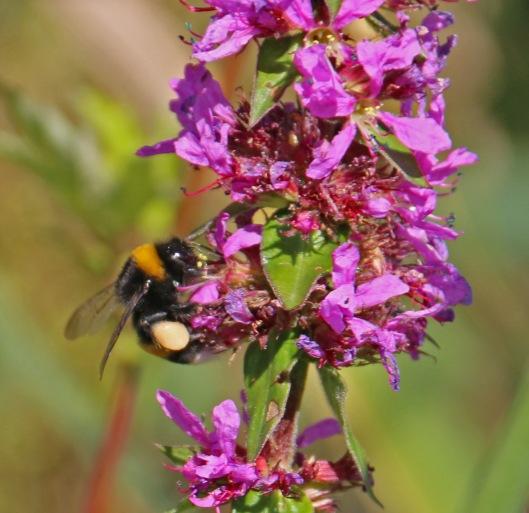 Rantakukan pitkä kukinta-aika sekä runsaat mesi- ja siitepölyvarat ovat erinomainen, jopa elintärkeä ravinnon lähde pölyttäjähyönteisille etenkin kuivina loppukesän aikoina. Kuva: Kai Aulio.