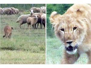 Leijona lammaspaimenena: Ihminen voi kääntää luonnon normaalit lainalaisuudet päälaelleen. Kuva: top3top.com.