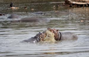 Sambialaisilla virtahevoilla näyttää olevan riittävästi vettä, jotta eläinkantaa ei tarvitsisi karsia. Kuva: iclipart.com.
