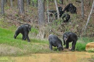 Chimp Haven -suojelualueella Louisianassa on jo 75 simpanssia, ja lähivuosina loputkin USA:n terveyshallinnon suuret kädelliset koe-eläimet pääsevät viettämään eläkepäiviä. Kuva: chimphaven.org.
