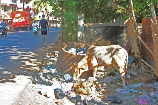 Intialaisilla kaduilla ja kujilla vapaasti kuljeksivat ja muovien hallitsemissa roskakasoissa ruokailevat lehmät ovat hengenvaarassa hajoamattoman muovin kertyessä pötsiin. Kuva: Kai Aulio.