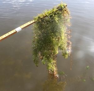 Uposkasvi karvalehti voi sitoa vesiympäristön haitallisia raskasmetalleja niin tehokkaasti, että haitta-aineiden pitoisuus solukoissa on tuhansia kertoja suurempi kuin ympäröivässä vedessä. Kuva: Kai Aulio. Pori, Pihlavanlahti.