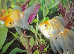 Kotiakvaarion kultakala muistuttaa varsin vähän luonnossa pulskistunutta lajitoveriaan. Kuva: Kai Aulio.