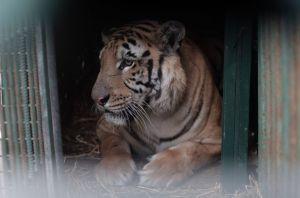 Laziz-tiikerin ahdas häkki on järkyttävä ositus lakkautetun Khan Younis Zoon olosuhteista. Kuva: Four Pawns.