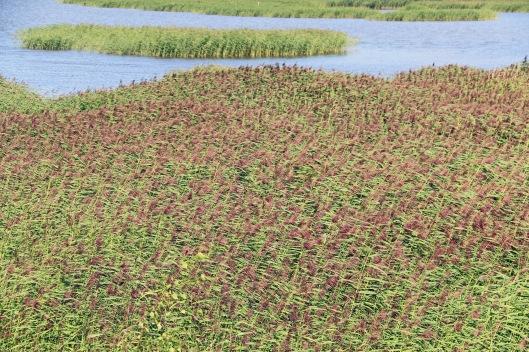 Yhtenäisissä järviruokokasvustoissa biomassan tuotanto on tehokkaampaa kuin missään muussa kasviyhteisössä Pohjolasa. Kuva: Kai Aulio.