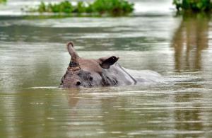 Intiansarvikuono kamppailee hengestään tulvan vallassa olevassa Kazirangan kansallispuistossa. Kuva: news.nationalgeographic.com.