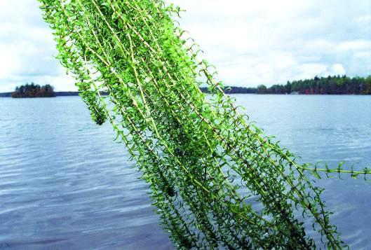 Vesirutto on pelottavasta nimestään huolimatta vaaraton ja yleensä haitaton, pinnan alla elävä uposkasvi. Vain harvoissa järvissä tämä helposti katkeilevista verson kappaleista uusiutuva muukalaislaji valloittaa vesistöjä alkuperäisiltä lajeilta tai aiheuttaa haittaa virkistys- tai monikäytölle. Kuva: Kai Aulio.
