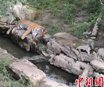 Changchun kasvi- ja eläinpuistossa on kahdeksan siperiantiikeriä, joiden vapaata kuljeskelua maastossa on rajoitettu kohtalokkaan välikohtauksen takia. Kuva: China News Service.