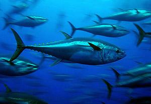 Atlantin sinievätonnikalan kanta on ollut vuosia vakavasti heikentynyt liikapyynnin takia, mutta tehokkaan suojelun ja pyyntikiintiöiden ansiosta merien taloudellisesti arvokkain saaliskala näyttää toipuvan. Kuva: Marinebio.org.