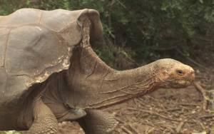 Satavuotiaan Diegon jälkeläiset muodostavat 40 prosenttia kaikista oman lajinsa elossa olevista yksilöistä. Kuva: YouTube, via TreeHugger.