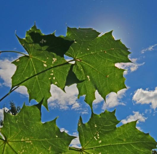Kuumalla säällä kasvi voi alentaa lehtien lämpötilaa optimoidakseen yhteyttämisrektioiden olosuhteet. Kuva: Kai Aulio.