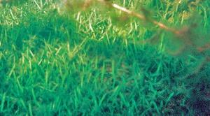 Suomessa harvinainen raani (Littorella uniflora) muodostaa järvien pohjilla nurmikkomaisen tiiviitä kasvustoja.