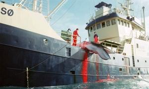 Norja on julkisuudelta piilossa noussut maailman suurimmaksi valanpyytäjävaltioksi. Kuva: cybergazing.com.