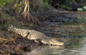 Jatkossa Malesian suistokrokotiilien on varauduttava tappavan voimakkaaseen viholliseen: aseistettuun metsästäjään. Kuva: wikimedia.org.