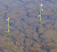 Pysyvästi veden alla elävillä (lyhytaikaisia, pinnalle nousevia kukkavanoja lukuun ottamatta) lahnanruohoilla on järvissä paljon kokoaan tärkeämpi tehtävä. Kuva: Wikipedia. org.